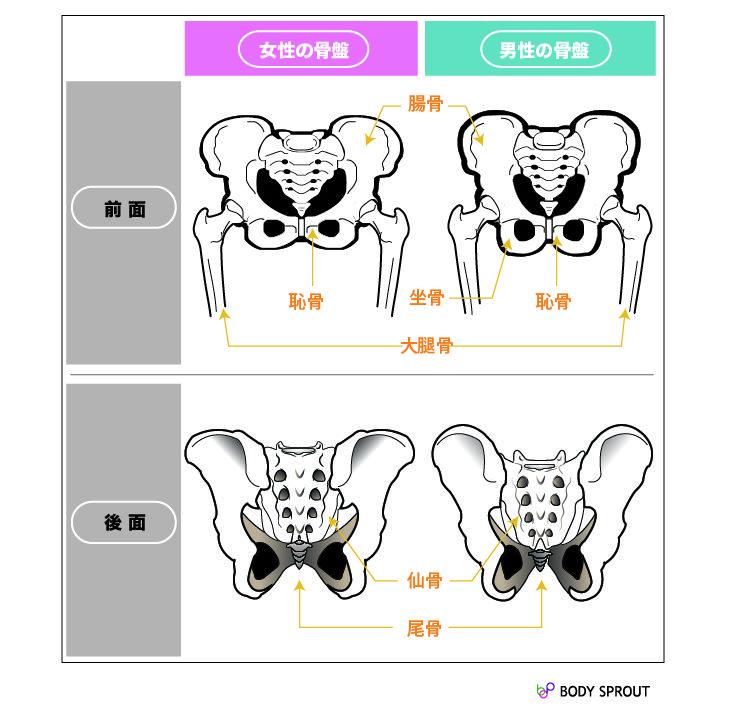 男女別の正しい骨盤の形