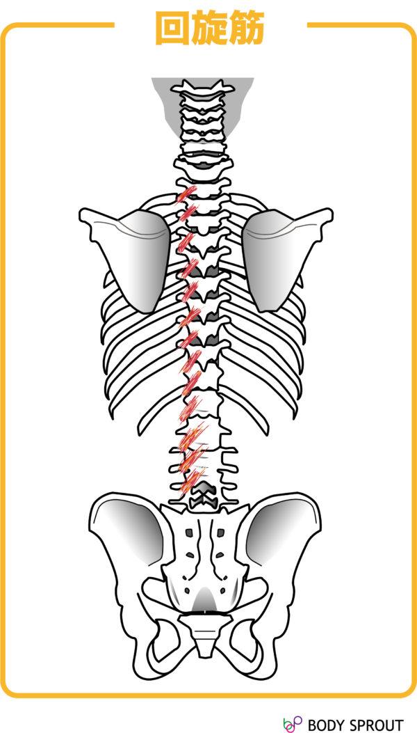 回旋筋の図